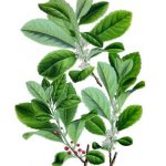 yerba leaf extract zotrim ingredient